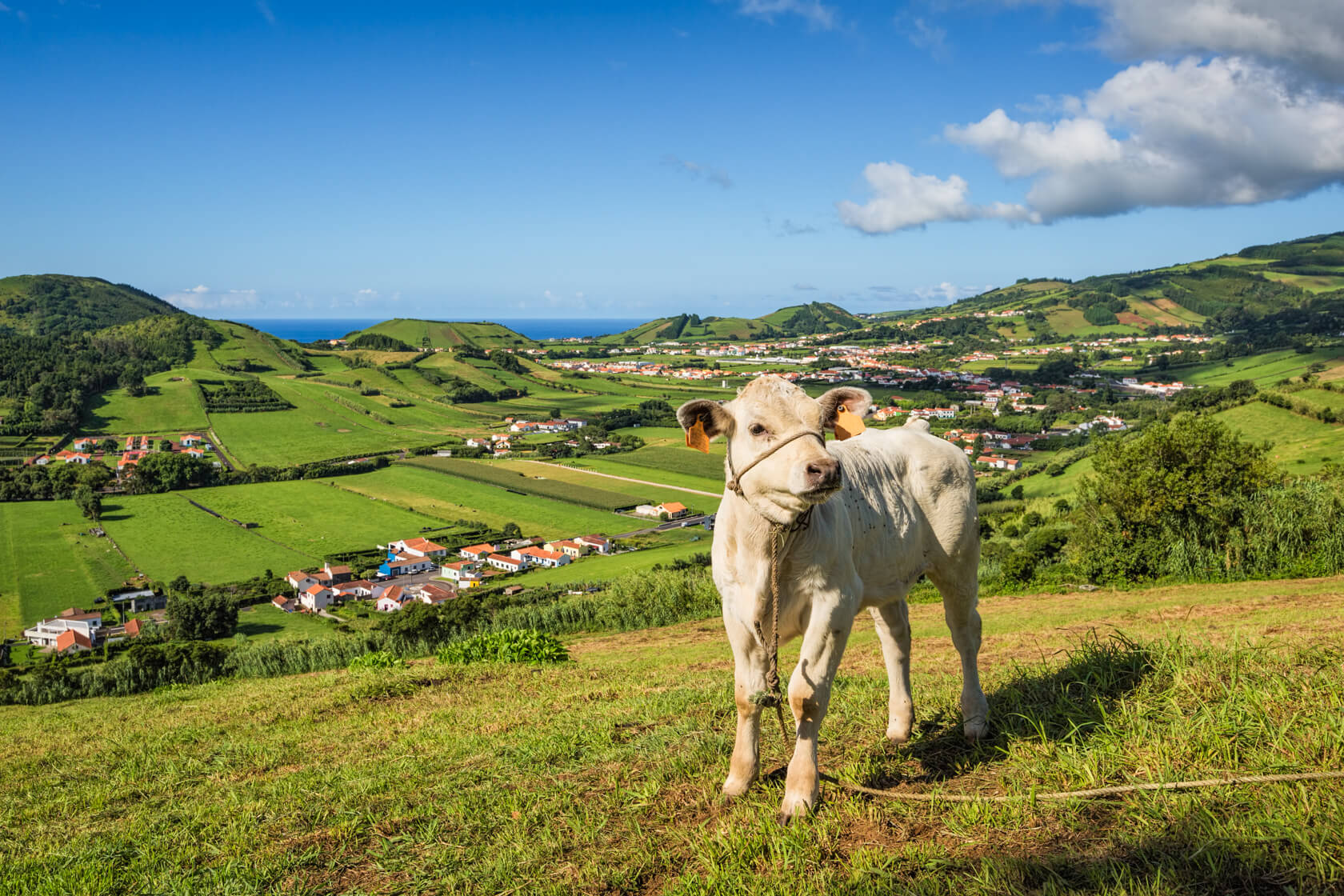 A cow in the Azores